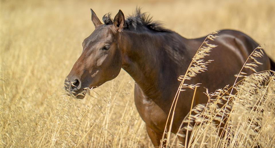 cheval qui mange des herbes hautes