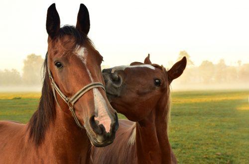 cheval qui attrape le licol d'un autre cheval au pré