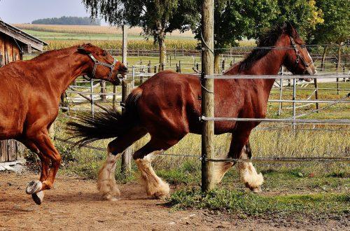 cheval qui poursuit un congénère au paddock