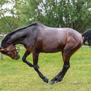 cheval qui fait des sauts de mouton dans son pré