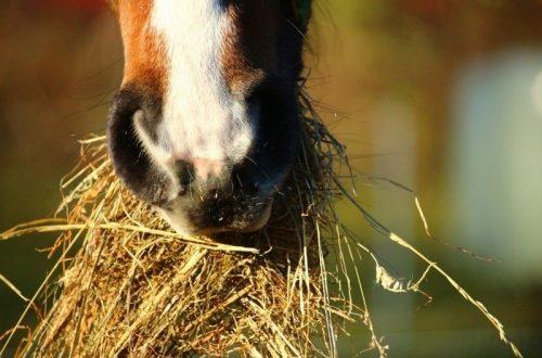 zoom sur bouche de cheval qui mange du foin