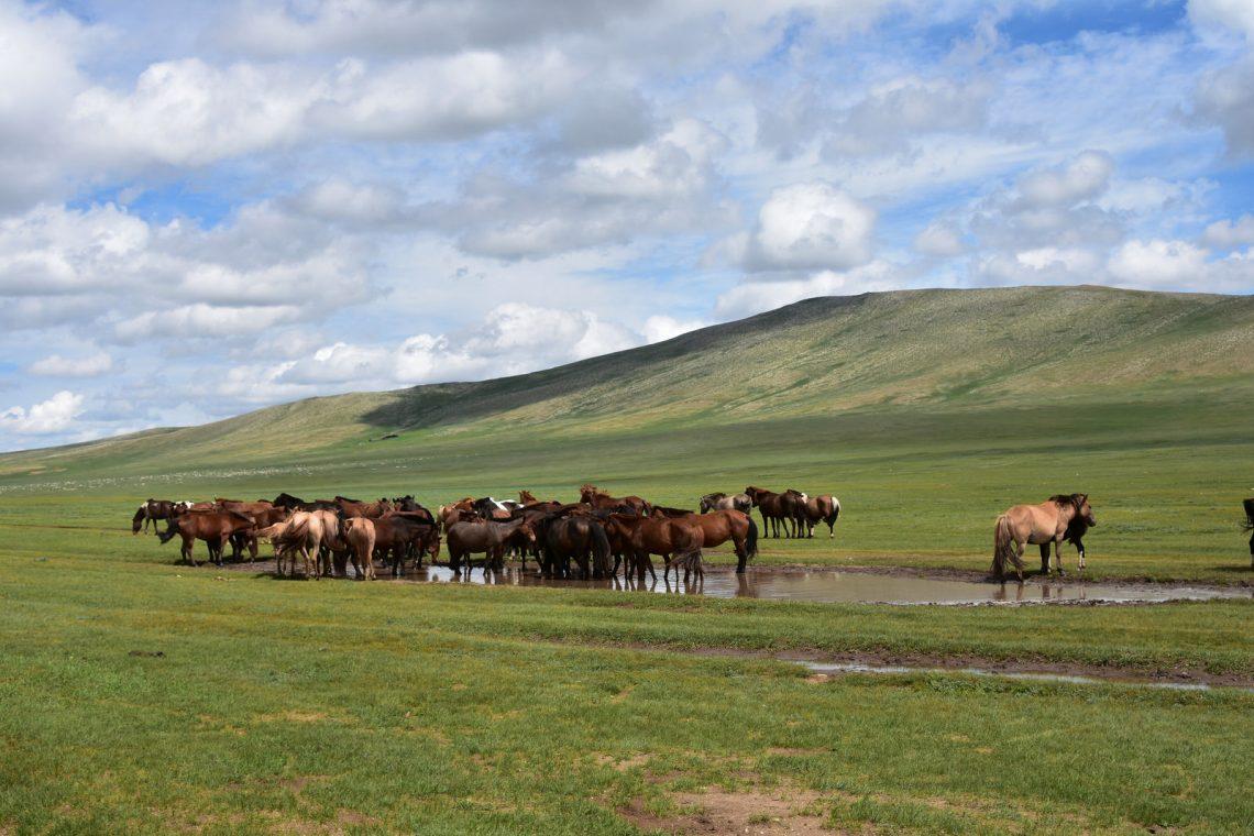 troupeau de chevaux qui s'abreuvent