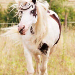 cheval qu secoue la tête