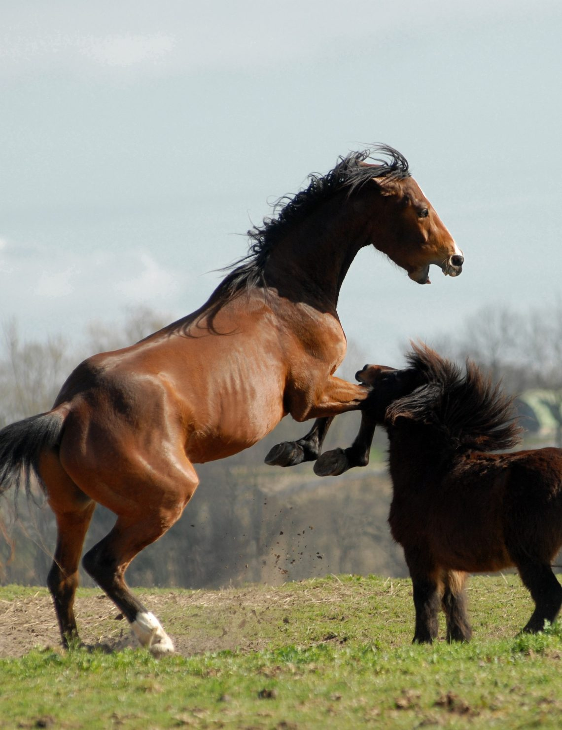 cheval agressif