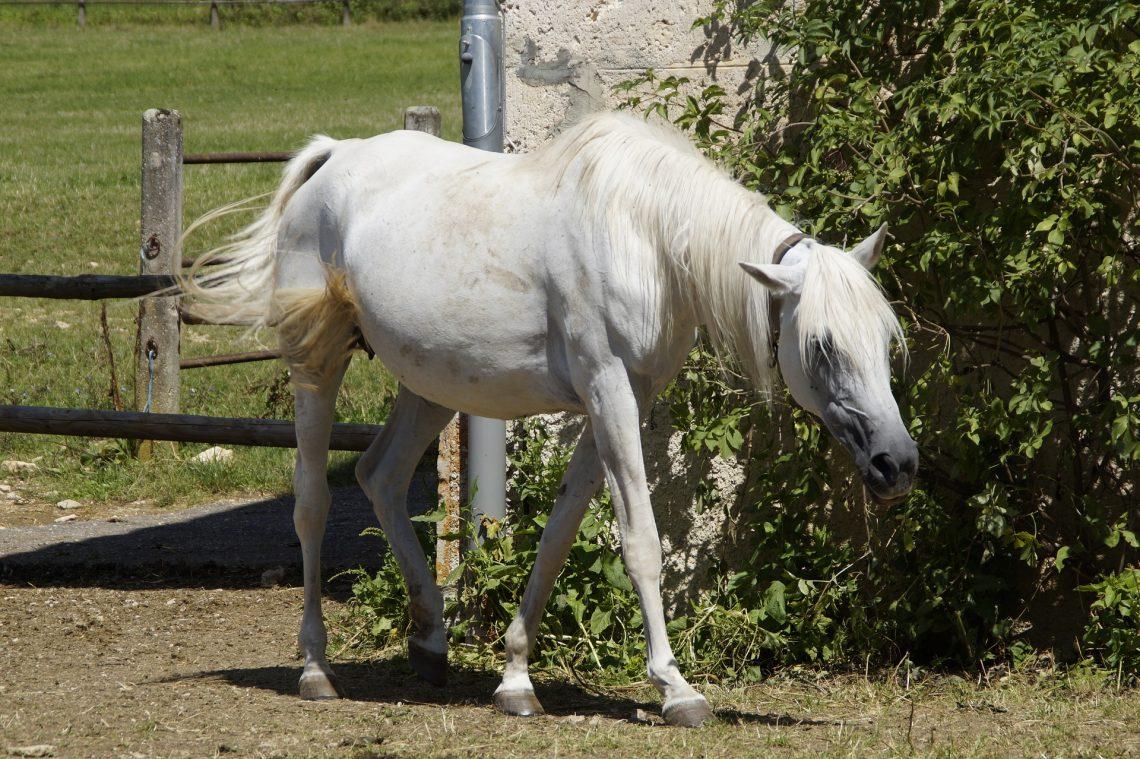 cheval qui déambule
